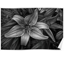 B&W Lily 2 of 4 Poster