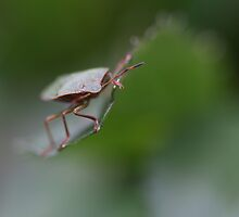 shield bug by markspics