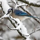 Blue Jay Winter by Otto Danby II