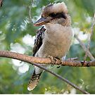 My old friend the kookaburra by mncphotography