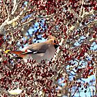 Bohemian Waxwing in Hawthorne Berries by Debbie  Roberts