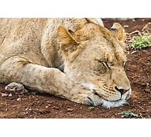 Sleeping Lion - South Africa Photographic Print