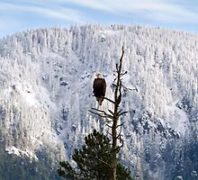 Adult Bald Eagle (Haliaeetus leucocephalus) by Michael Russell