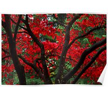 Red Japanese Maple Leaves Poster
