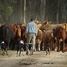 A Man, his dogs and the cattle by Clare Colins