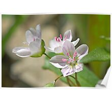 Spring Beauty -