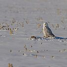 Snowy Owl On The Snow by Thomas Young