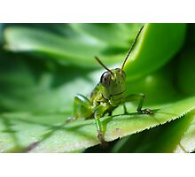 Gaudy grasshopper Photographic Print