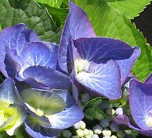 Blue Lacecap Hydrangea Macro by kathrynsgallery