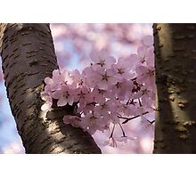 Silver Bark and Pink Blossoms Photographic Print