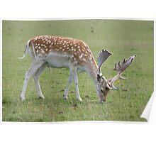 deer eating Poster