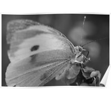 Common White Butterfly Poster