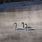 Three Trumpeter Swans in the Mist by Deb Fedeler