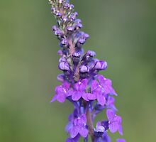 toadflax by markspics