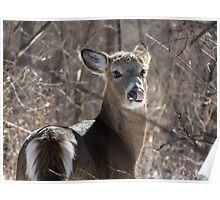 White-tailed Deer - Candid Shot Poster
