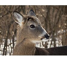 Young White-tailed Deer Buck Profile Photographic Print