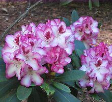 Rhododendron One Thousand Butterflies II by Pat Yager