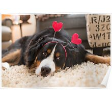Bernese Mountain Dogs love Valentine's Day Poster