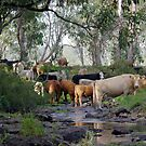 A Healthy Happy Herd by Clare Colins