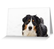 Aren't Bernese Mountain Dogs the sweetest? Greeting Card