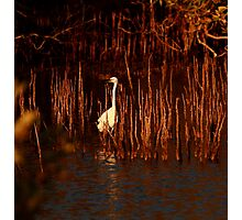 fishing in the mangroves Photographic Print