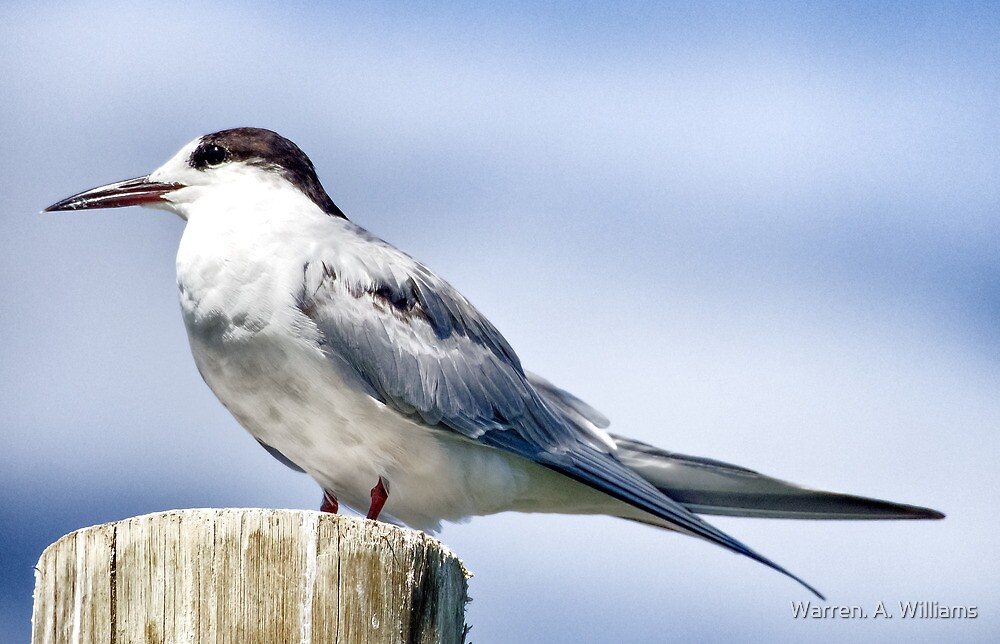 Tern Pole by Warren. A. Williams