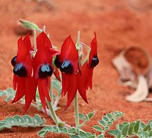 Sturt's Desert Pea by Sharon Brown