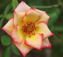 A rose by any other name.  by Vicki Childs