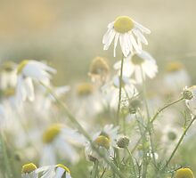 Scentless Mayweed Flowers by Alex Wagner