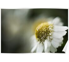 Scentless Mayweed Macro Poster