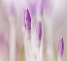 Dreamy Crocus... by Bob Daalder