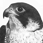 Peregrine Falcon by HandsonHart