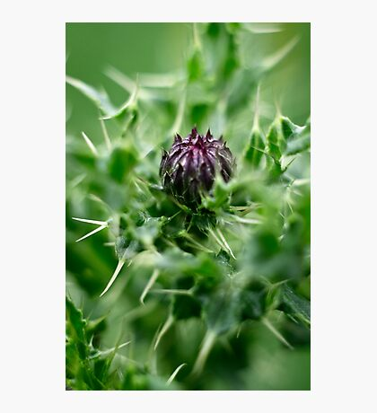 Spear Thistle Photographic Print