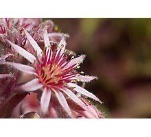 House Leek Flower Photographic Print