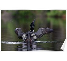 Shake it off - Common loon Poster