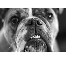 oh bulldogs, you make me smile. Photographic Print