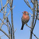Stripes of the House Finch by Navigator