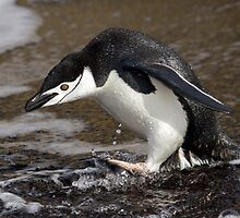 Chinstrap Penguin - Deception Island, Antarctica by Kellie Netherwood