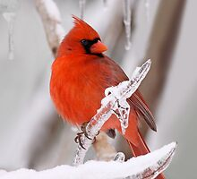 Cardinal on Ice by stephen-brown