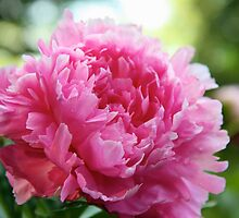 Pink Peony by stephen-brown