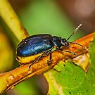 Alder Leaf Beetle    by MikeSquires