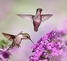 Hummingbirds Among Phlox by stephen-brown