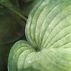 Blue Green Hosta Leaf by Kathilee