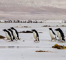 Rockhopper Penguin Parade - Falkland Islands by Kellie Netherwood