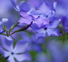 Phlox by stephen-brown