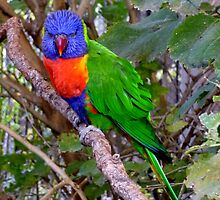Lorikeet by WildestArt