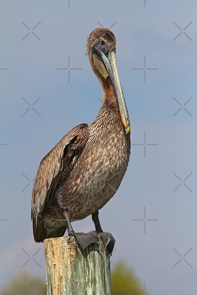 Pelican     by Jim Cumming