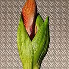 Orangery Red Amaryllis Bud by Avril Harris