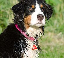 A swimming Bernese by TheJill