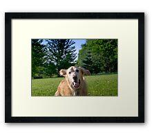 Golden Retriever Framed Print